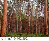 Купить «australian eucalyptus gumtree forest after bushfire», фото № 10462392, снято 27 марта 2019 г. (c) PantherMedia / Фотобанк Лори