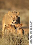 Купить «Lioness with cubs», фото № 10464324, снято 26 апреля 2018 г. (c) PantherMedia / Фотобанк Лори