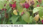 Купить «Ягода малина», видеоролик № 10466416, снято 20 августа 2015 г. (c) Звездочка ясная / Фотобанк Лори