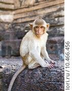 Portrait of young rhesus macaque monkey. Стоковое фото, фотограф songsak paname / PantherMedia / Фотобанк Лори