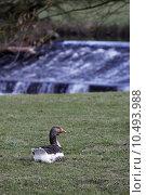 Купить «water river stream goose geese», фото № 10493988, снято 16 июля 2019 г. (c) PantherMedia / Фотобанк Лори