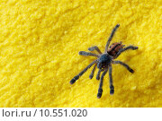Купить «Tarantula spider on yellow fabric», фото № 10551020, снято 22 января 2019 г. (c) PantherMedia / Фотобанк Лори
