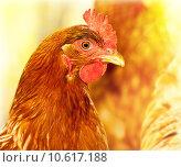 Купить «Chicken portrait», фото № 10617188, снято 16 июля 2019 г. (c) PantherMedia / Фотобанк Лори