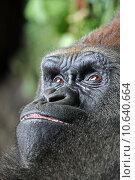 africa safari monkey anthropoid gorilla. Стоковое фото, фотограф Bernhard Richter / PantherMedia / Фотобанк Лори