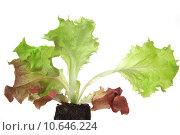 Купить «plant salad page sheet seedling», фото № 10646224, снято 15 октября 2019 г. (c) PantherMedia / Фотобанк Лори