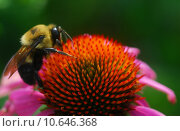 Купить «honey bee on Echinacea coneflower flower», фото № 10646368, снято 15 сентября 2019 г. (c) PantherMedia / Фотобанк Лори
