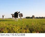 Купить «Dutch cows », фото № 10672608, снято 21 июня 2018 г. (c) PantherMedia / Фотобанк Лори