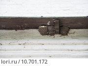 Купить «Гнезда с птенцами городской ласточки (Delichon urbicum)», эксклюзивное фото № 10701172, снято 15 июля 2015 г. (c) Алёшина Оксана / Фотобанк Лори