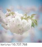 Купить «White Japanese Sakura Blossoms», фото № 10737768, снято 15 сентября 2019 г. (c) PantherMedia / Фотобанк Лори