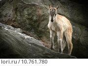 Купить «young animal baby mountain rock», фото № 10761780, снято 25 марта 2019 г. (c) PantherMedia / Фотобанк Лори
