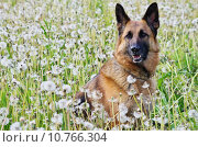 Купить «dog blowball buttercup butterblumenwiese deutscher», фото № 10766304, снято 19 октября 2018 г. (c) PantherMedia / Фотобанк Лори