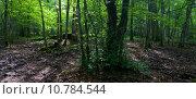 Купить «Sun entering rich deciduous forest», фото № 10784544, снято 20 июня 2019 г. (c) PantherMedia / Фотобанк Лори