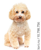 Купить «Dog poodle isolated on white background», фото № 10798756, снято 27 мая 2019 г. (c) PantherMedia / Фотобанк Лори