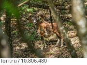 Купить «Beautiful mouflon in the forest», фото № 10806480, снято 25 марта 2019 г. (c) PantherMedia / Фотобанк Лори