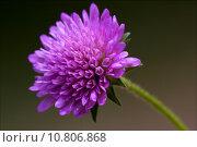 Купить «dispsacacea labiate violet flower», фото № 10806868, снято 15 сентября 2019 г. (c) PantherMedia / Фотобанк Лори