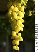 Купить «Green Grapes», фото № 10815888, снято 24 января 2019 г. (c) PantherMedia / Фотобанк Лори