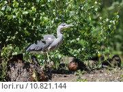 Купить «nature wildlife bird birds heron», фото № 10821144, снято 6 июля 2020 г. (c) PantherMedia / Фотобанк Лори