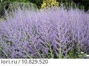Купить «Perovskia atriplicifolia», фото № 10829520, снято 22 октября 2019 г. (c) PantherMedia / Фотобанк Лори