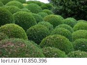Купить « Boxwood  - Green garden balls in France,», фото № 10850396, снято 19 октября 2019 г. (c) PantherMedia / Фотобанк Лори