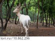Купить «Белый олень в Сафари-парке Геленджика», фото № 10862296, снято 15 июля 2015 г. (c) Николай Мухорин / Фотобанк Лори
