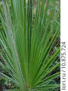 Купить «green detail page sheet palm», фото № 10875724, снято 15 октября 2019 г. (c) PantherMedia / Фотобанк Лори