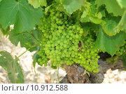Купить «grapes rote trauben weintraubenrebe weisse», фото № 10912588, снято 24 января 2019 г. (c) PantherMedia / Фотобанк Лори