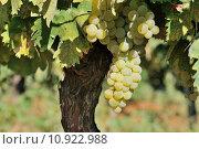 Купить «Grapes», фото № 10922988, снято 24 января 2019 г. (c) PantherMedia / Фотобанк Лори