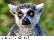 mammal monkey madagascar lemures lemur. Стоковое фото, фотограф Robert Rudolphi / PantherMedia / Фотобанк Лори