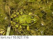Купить «Edible Frog (Pelophylax esculentus)», фото № 10927116, снято 18 октября 2018 г. (c) PantherMedia / Фотобанк Лори