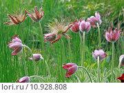 Купить «anemone vulgaris hahnenfu gew chs», фото № 10928808, снято 20 апреля 2019 г. (c) PantherMedia / Фотобанк Лори