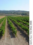 Купить «green sky valley vine grapes», фото № 10942988, снято 24 января 2019 г. (c) PantherMedia / Фотобанк Лори