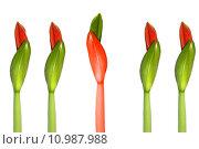 Купить «green red plant flower bud», фото № 10987988, снято 1 июня 2020 г. (c) PantherMedia / Фотобанк Лори