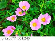 Купить «Portulaca flowers», фото № 11061240, снято 22 марта 2019 г. (c) PantherMedia / Фотобанк Лори