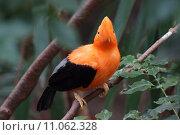 Купить «Andean Cock-of-the-Rock - Rupicola peruvianus», фото № 11062328, снято 19 января 2019 г. (c) PantherMedia / Фотобанк Лори