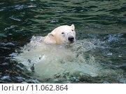 Купить «swimming swim bear arctic swiming», фото № 11062864, снято 25 апреля 2019 г. (c) PantherMedia / Фотобанк Лори