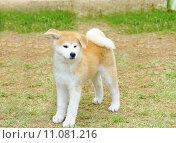 Купить «Akita Inu», фото № 11081216, снято 21 мая 2018 г. (c) PantherMedia / Фотобанк Лори