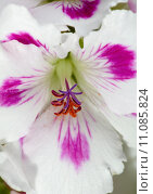 Купить «Beautiful amaryllis», фото № 11085824, снято 5 июня 2020 г. (c) PantherMedia / Фотобанк Лори