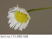 Купить «macro of a yellow white daisy», фото № 11090168, снято 15 сентября 2019 г. (c) PantherMedia / Фотобанк Лори
