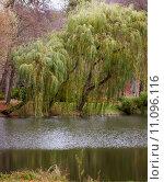 Купить «Autumn fall park. Lake and weeping willow tree.», фото № 11096116, снято 17 декабря 2017 г. (c) PantherMedia / Фотобанк Лори