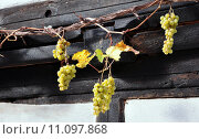 Купить «grape vine grapes cultigen climbing», фото № 11097868, снято 15 сентября 2019 г. (c) PantherMedia / Фотобанк Лори