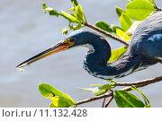 Купить «nature wildlife bird birds florida», фото № 11132428, снято 6 июля 2020 г. (c) PantherMedia / Фотобанк Лори