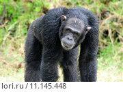 africa safari monkey kenya chimpanzee. Стоковое фото, фотограф herbert lewald / PantherMedia / Фотобанк Лори