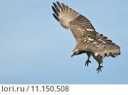 Купить «Immature Red Tailed Hawk on the Hunt», фото № 11150508, снято 15 октября 2019 г. (c) PantherMedia / Фотобанк Лори