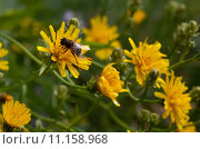 Купить «Yellow flowers and insect», фото № 11158968, снято 15 сентября 2019 г. (c) PantherMedia / Фотобанк Лори