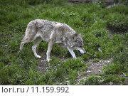 Купить «animal group mammal pack hunting», фото № 11159992, снято 22 марта 2019 г. (c) PantherMedia / Фотобанк Лори