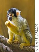 Squirrel- or Skull monkey. Стоковое фото, фотограф Colette Planken-Kooij / PantherMedia / Фотобанк Лори