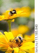 Купить «Bumble bees on sunflowers in summer», фото № 11185840, снято 14 ноября 2018 г. (c) PantherMedia / Фотобанк Лори