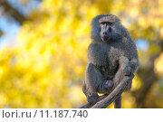 africa monkey ape baboon cynocephalus. Стоковое фото, фотограф Tomasz Trybus / PantherMedia / Фотобанк Лори