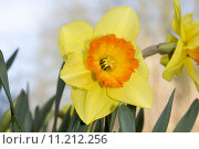 Купить «yellow plant flower odorous daffodil», фото № 11212256, снято 19 января 2019 г. (c) PantherMedia / Фотобанк Лори