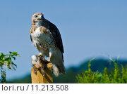 Купить «Red-Tailed Hawk With Captured Prey», фото № 11213508, снято 16 сентября 2019 г. (c) PantherMedia / Фотобанк Лори